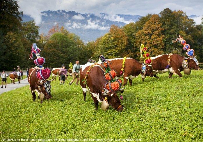 bunt geschmückte kühe während des almabtriebs auf einer wiese