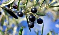 Olivenhaine entlang des Ostufers
