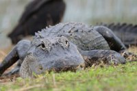 Alligators in de Everglades